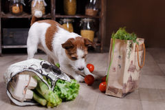 Dog breed Jack Russell Terrier and foods are on the floor in the kitchen. Dog breed Jack Russell Terrier and  foods are on the floor in the kitchen Stock Images
