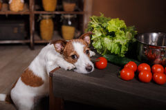 Dog breed Jack Russell Terrier and foods are on the table in the kitchen stock image