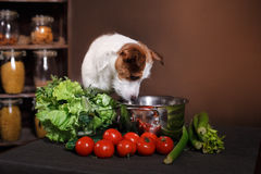 Dog breed Jack Russell Terrier and  foods are on the table in the kitchen Stock Photography