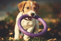 Dog breed jack russell terrier playing in autumn park Royalty Free Stock Photos