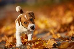 Dog breed jack russell terrier playing in autumn park.  Royalty Free Stock Image