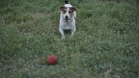 Dog breed Jack Russell Terrier playing with ball on grass. A small breed dog Jack Russell Terrier plays with a bright ball on the grass and barks stock footage