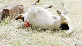 Dog breed Jack Russell Terrier playing in the grass on the lawn stock footage