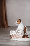 Dog breed Jack Russell Terrier portrait dog on a studio color background Stock Photography
