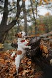 Dog breed Jack Russell Terrier Royalty Free Stock Images