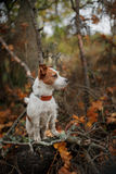 Dog breed Jack Russell Terrier Royalty Free Stock Photo