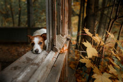 Dog breed Jack Russell Terrier Royalty Free Stock Image