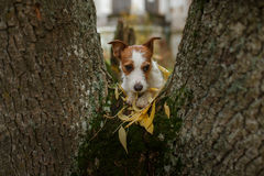 Dog breed Jack Russell Terrier Stock Photo