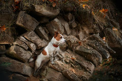 Dog breed Jack Russell Terrier Stock Images
