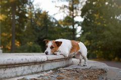 Dog breed Jack Russell Terrier Royalty Free Stock Photos