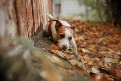 Dog breed Jack Russell Terrier Stock Photography