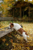 Dog breed Jack Russell Terrier Stock Image