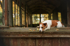 Dog breed Jack Russell Terrier Stock Photos