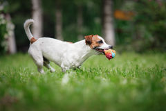 Dog breed Jack Russell Terrier walks on nature. Dog Jack Russell Terrier walks in the park, summer, plays the ball royalty free stock images