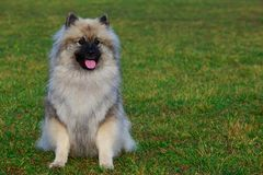 Dog breed keeshond. Sitting on green grass stock image