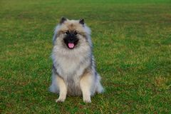 Dog breed keeshond. Sitting on green grass royalty free stock image