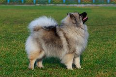 Dog breed keeshond. Standing on green grass stock photo