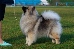 Dog breed keeshond. Standing on green grass stock images