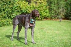 Dog breed Kurzhaar with medals