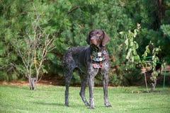 German Shorthair Pointing Dog