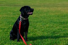 Dog breed Labrador. The dog breed Labrador sits on a green grass stock photography