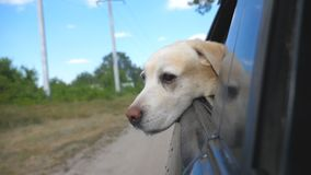 Dog breed labrador or golden retriever looking into a car window. Domestic animal stuck out head from moving auto to stock video footage
