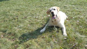 Dog breed labrador or golden retriever lying on the green grass lawn. Domestic animal follows the movement of the camera. Nature at background. Close up stock video