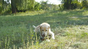 Dog breed labrador or golden retriever lying on the green grass lawn. Domestic animal opening his mouth and showing. Tongue breathing heavily from the heat stock video