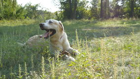 Dog breed labrador or golden retriever lying on the green grass lawn. Domestic animal opening his mouth and showing. Tongue breathing heavily from the heat stock footage