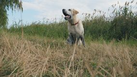 Dog breed labrador or golden retriever sits on the grass by the river and barks. Training of domestic animal outdoor at stock footage