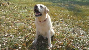 Dog breed labrador or golden retriever sitting on green grass and barking. Domestic animal giving a paw to his owner. Hand. Male arm caress and stroking head of stock footage