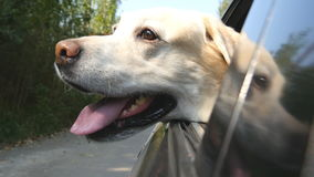 Dog breed labrador or golden retriver looking into a car window. Domestic animal sticks head out moving auto to enjoying. The wind and watching the world. Close stock footage