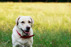 Dog breed Labrador Royalty Free Stock Photography