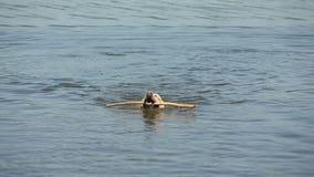 Dog of breed labrador retriever swims in the lake.  stock video