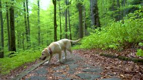 Dog of breed Labrador Retriever walking through forest. Steadicam gimbal shot. Brown blonde dog puppy runs in the mountain forest. stock video