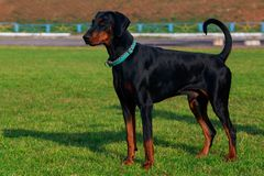 Dog breed Lithuanian Hound. Stands in the park stock photography