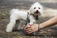 Dog breed maltese bichon Royalty Free Stock Photos