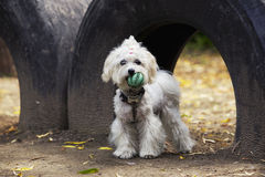 Dog breed maltese bichon Stock Images