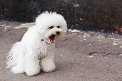 Dog breed maltese bichon Royalty Free Stock Images