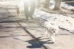 Dog breed Maltese lap dog walking on a leash in the park on a su. Nny day Stock Photos