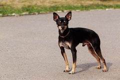 Dog breed Manchester Toy Terrier. The dog breed Manchester Toy Terrier a close-up royalty free stock photography