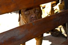 Dog breed Mastiff looks over the fence stock images