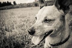 Dog breed miniature pinscher on the nature in the park in summer close-up. Black and white old grunge vintage photo.  royalty free stock images