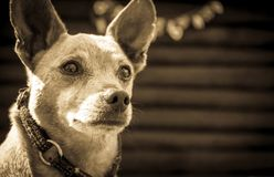 Dog breed miniature pinscher on the nature in the park in summer close-up. Black and white old grunge vintage photo.  stock photos