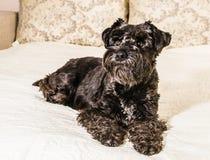 Dog breed Miniature Schnauzer Royalty Free Stock Photo