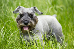 Dog breed miniature schnauzer Stock Images