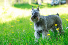 Dog breed miniature schnauzer Royalty Free Stock Images