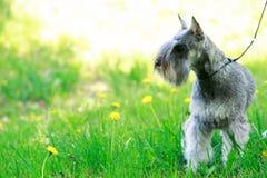 Dog breed miniature schnauzer Stock Photography