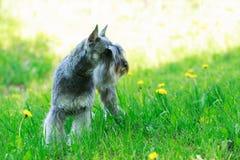 Dog breed miniature schnauzer Stock Image
