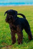 Dog breed miniature schnauzer. Miniature schnauzer is stand on green grass royalty free stock photography